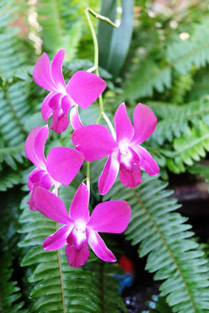 Purple Orchids Flower inflorescence, from Thailand garden photo