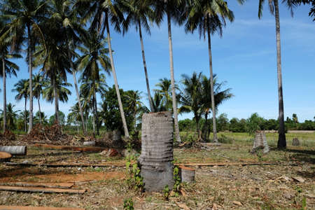Coconut trees are cut in the garden photo