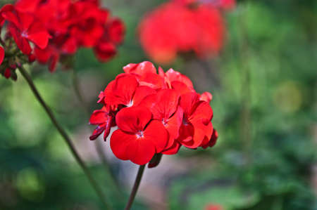 Red bicolor geraniums in the home garden Stock Photo