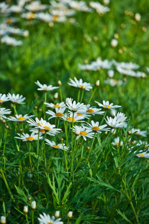 daisies in the garden photo