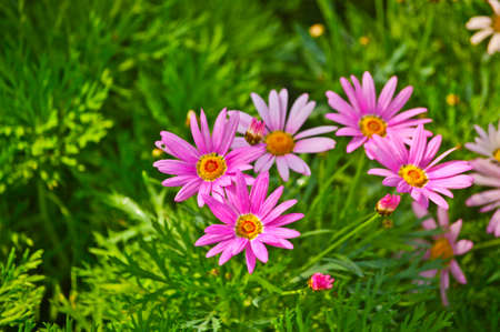 Pink daisy flower photo