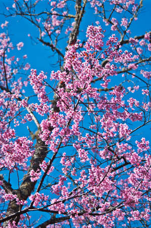 Superb Pink Cherry Blossom with Blue Sky Background Stock Photo - 24970860