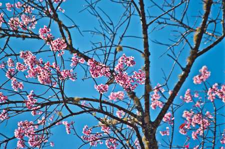 Superb Pink Cherry Blossom with Blue Sky Background