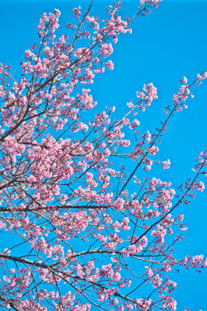 Superb Pink Cherry Blossom with Blue Sky Background Stock Photo - 24970946