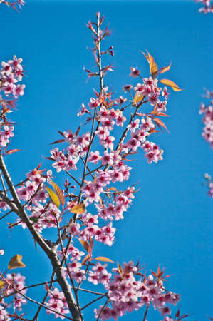 Spring Cherry blossoms photo