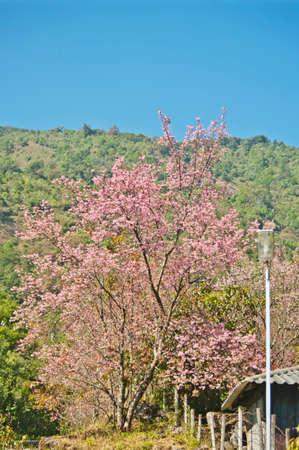 Cherry Blossom Pathway in ChiangMai, Thailand Stock Photo - 24971527