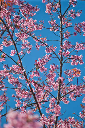Superb Pink Cherry Blossom with Blue Sky Background Stock Photo - 24971555