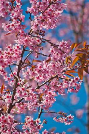 Superb Pink Cherry Blossom with Blue Sky Background Stock Photo - 24971556