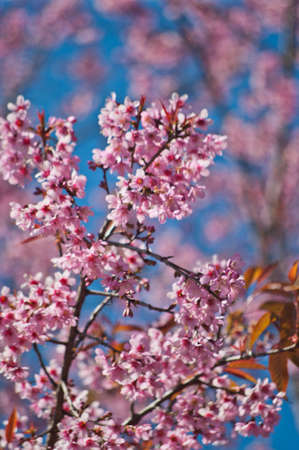 Superb Pink Cherry Blossom with Blue Sky Background Stock Photo - 24971554