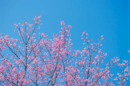Superb Pink Cherry Blossom with Blue Sky Background Stock Photo - 24972464