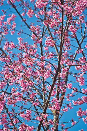 Superb Pink Cherry Blossom with Blue Sky Background Stock Photo - 24972468