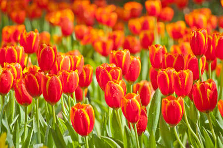 Orange tulips in garden Thailand photo
