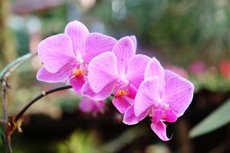 Pink Orchids Flower inflorescence, from Thailand garden