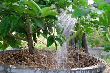 watering lemon tree in garden Stock Photo