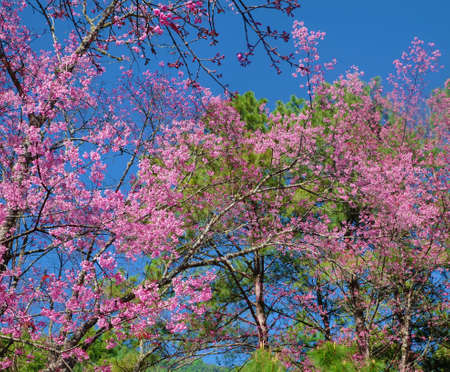 Close up of pink cherry blossom-sakura flower blooming Stock Photo