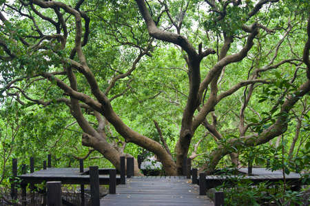Long wood bridge in mangrove forest