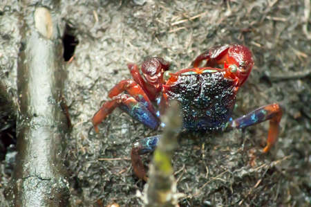 crab walking in the mangrove, Thailand