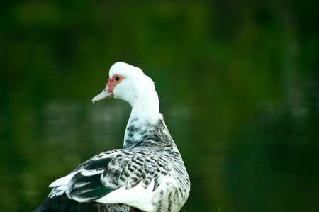 Mallard duck background Nature