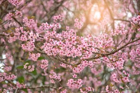 Spring nature background Sakura blooming over sunny sky