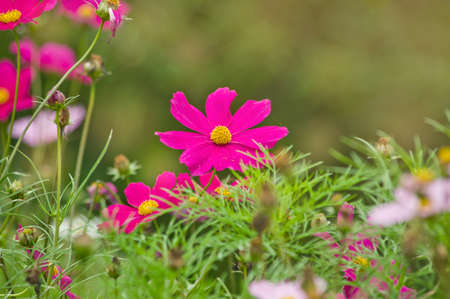 Beautiful cosmos flower in the garden and morning sunlight