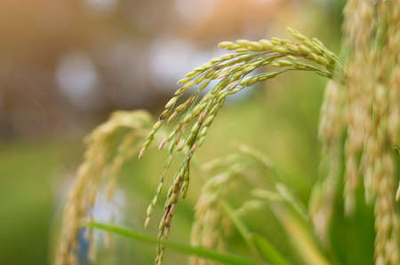 Beautiful plant, rice seed in the field, Ready for harvest Stock Photo