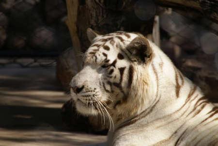 close ups: White Tiger