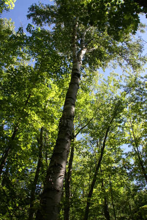 Towering Birch Tree