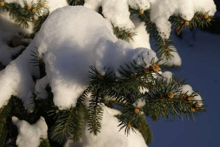 spruce: Snow covered Spruce