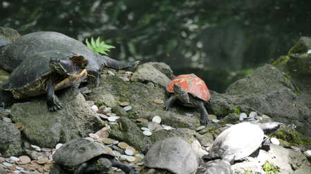 Red shell turtle in pond