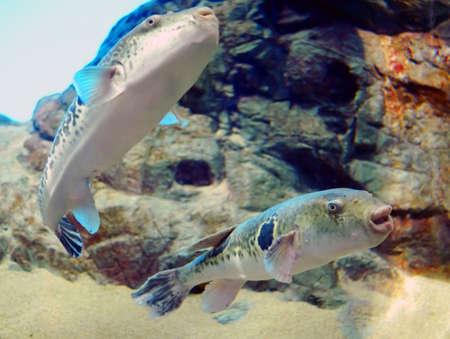 수족관에있는 복어