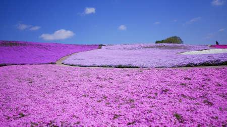 Campo de musgo rosado (shibazakura) en Chiba, Japón Foto de archivo - 83437839