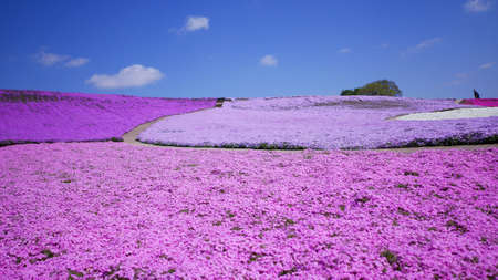 Pink moss field (shibazakura) at Chiba, Japan Stock Photo