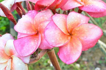 flowers frangipani pink  plumeria  photo
