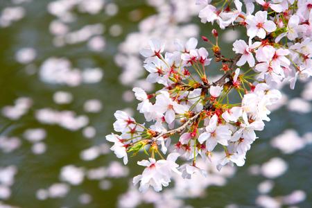 Cherry flower floating on river. Stok Fotoğraf