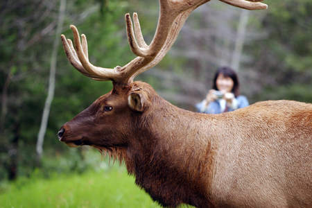 Elk seen at Canadian Rokkies