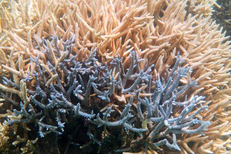 珊瑚の bleaching 石垣島周辺 写真素材