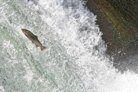 Sakura trout jumping onto upper stream Stok Fotoğraf