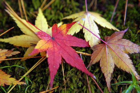 Red and yellow maple leaves on moss