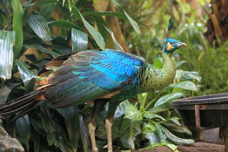 peacock Stok Fotoğraf
