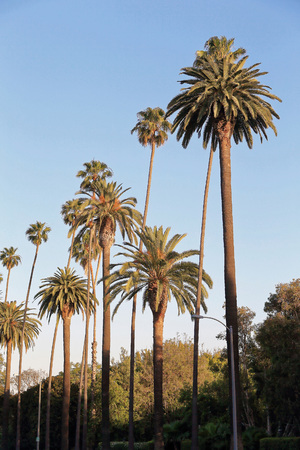 Palm trees at Beverly Hills
