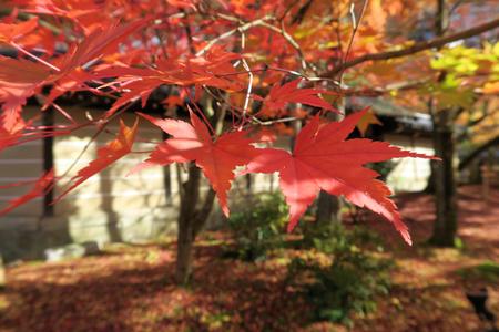 Maple leaf in Kyoto, Japan Stok Fotoğraf