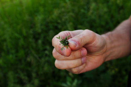 hand holding a green herb