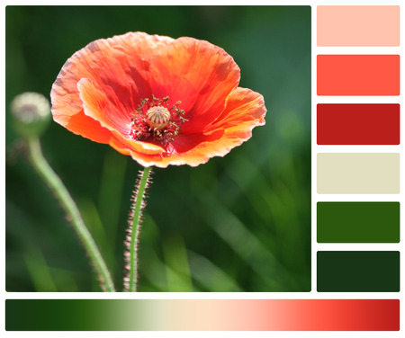 Poppy Flower. Palette With Complimentary Colour Swatches Stock Photo