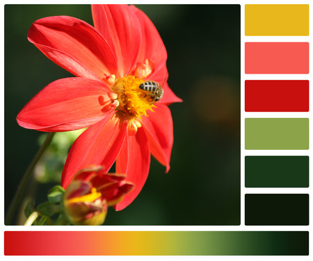 Bee On Dahlia Flower. Palette With Complimentary Colour Swatches photo