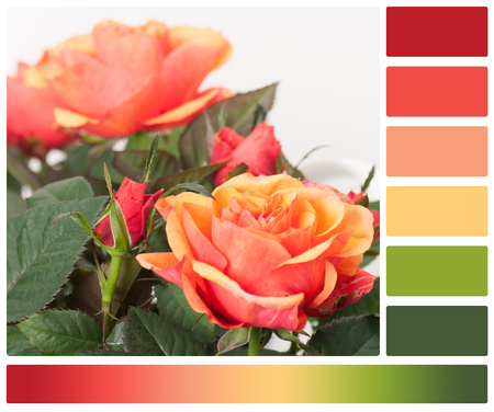 complimentary: Bouquet Of Roses On White Background. Palette With Complimentary Colour Swatches. Stock Photo