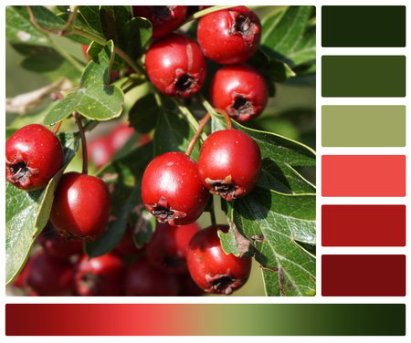 complimentary: Bush With Berries. Palette With Complimentary Colour Swatches.