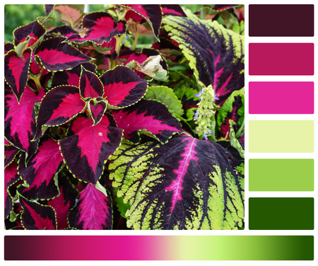 complimentary: Coleus Plant. Palette With Complimentary Colour Swatches