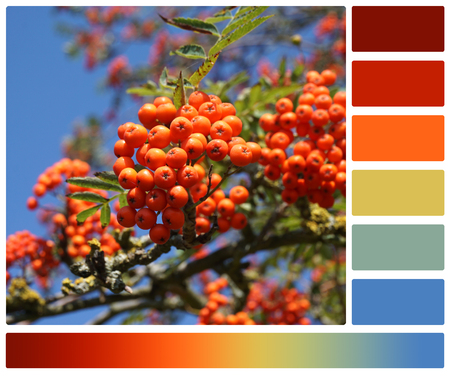 complimentary: Rowan Berries. Blue Summer Sky. Palette With Complimentary Colour Swatches