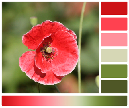 complimentary: Red Poppy Flower. Palette With Complimentary Color Swatches Stock Photo