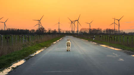 A little lamb on a road at sunset in East Frisia. Stock Photo